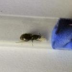 чёрные садовые муравьи Lasius niger