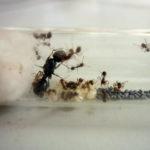 Муравьи степные жнецы Messor structor